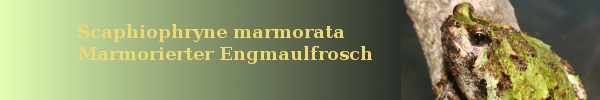Scaphiophryne marmorata - Marmorierter Engmaulfrosch